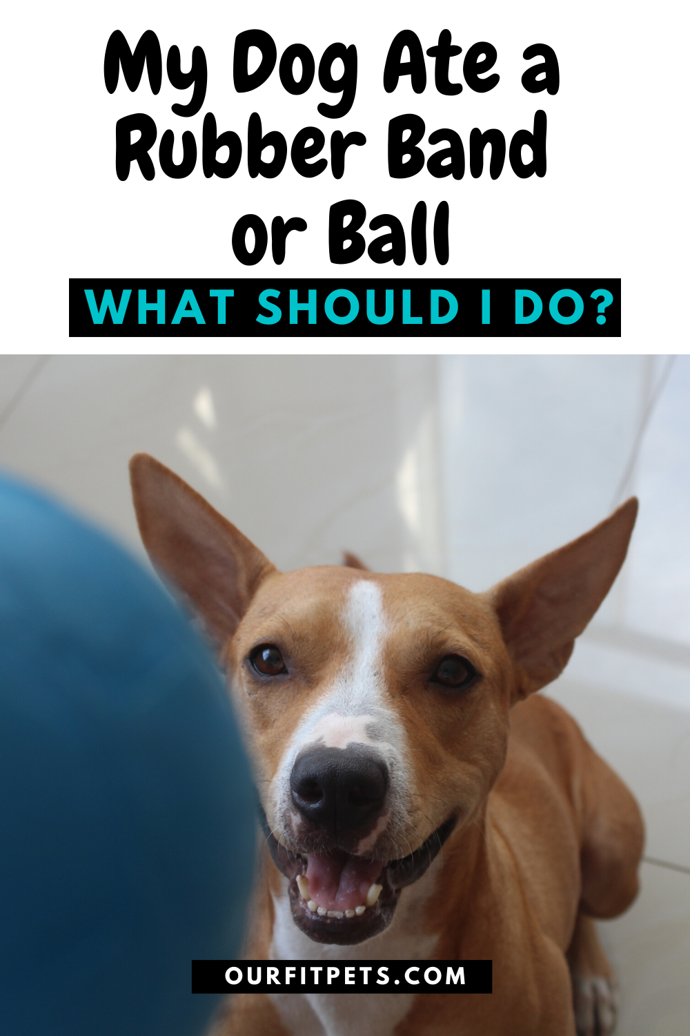 My Dog Ate A Rubber Band Or Ball What Should I Do Our Fit Pets In 2020 Cat Advice Dog Eating Dogs