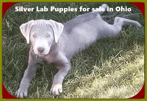 Silver Lab Puppies for sale in Ohio Labrador Puppies [12