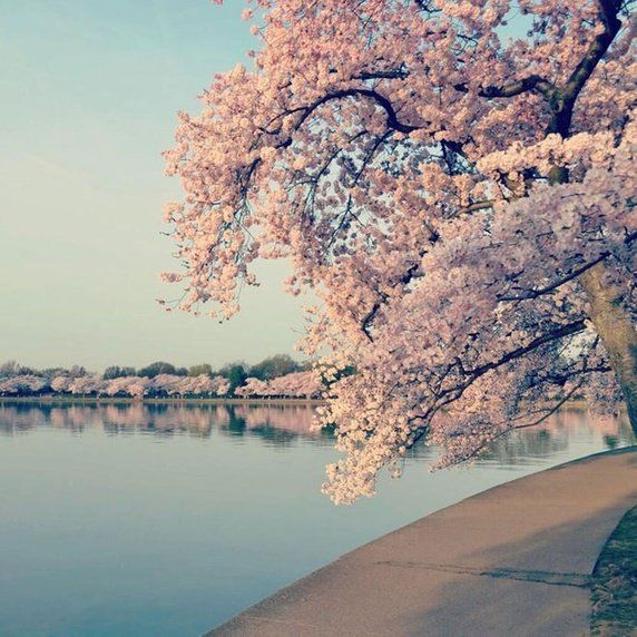 What Are Some Amazing Facts About Japan And Japanese Culture Quora Yoshino Cherry Tree Cherry Tree Cherry Blossom