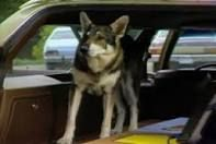 the littlest hobo - Google Search