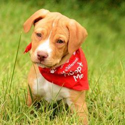 Adopt Rockie On Lab Mix Puppies Cute Puppies Pitbull Terrier