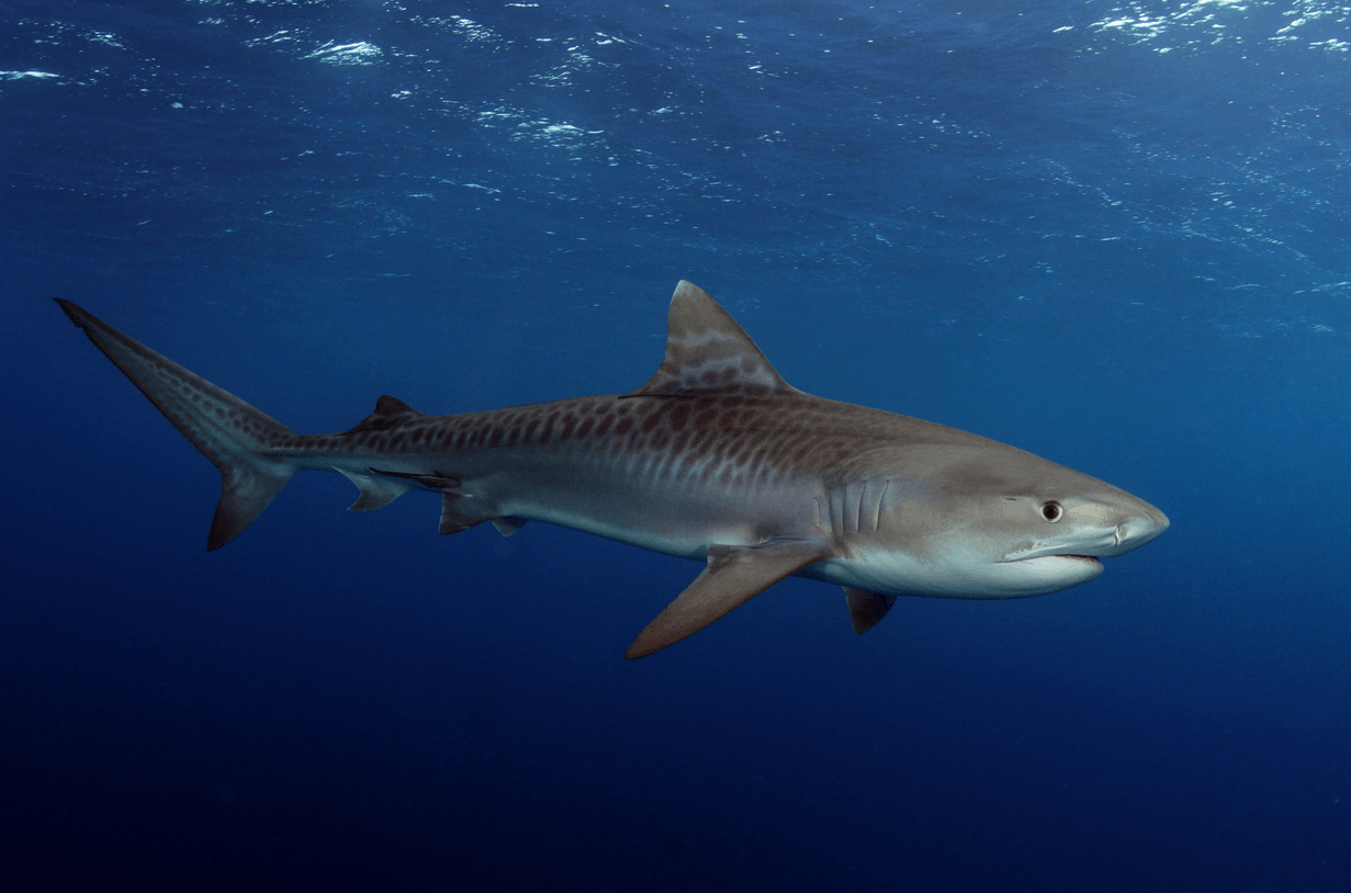 25 Tiger Shark Pictures And Hd Wallpapers Shark Pictures Baby Tiger Shark Bull Shark