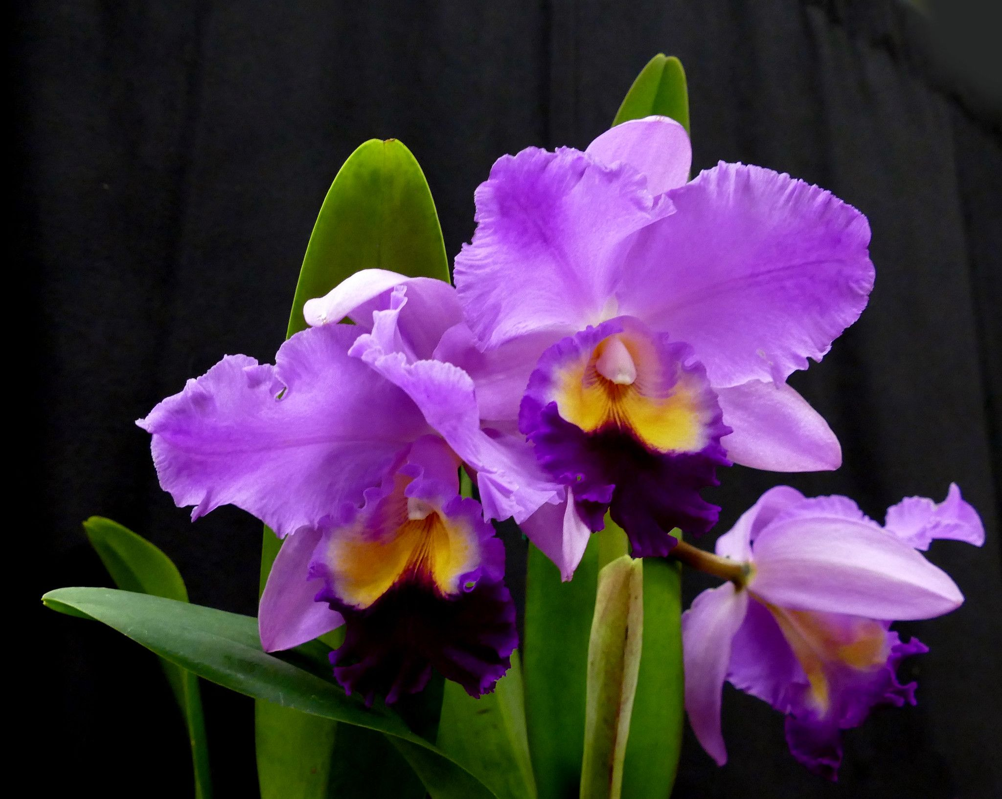 Orchids Of The Enchanted Forest Show Sale Cattleya Orchid At The Poe 2 19 Cattleya Orchid Cattleya Orchids