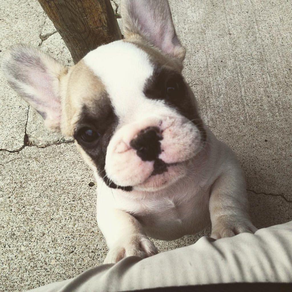 Well Pick Me Up French Bulldog Puppy French Bulldog