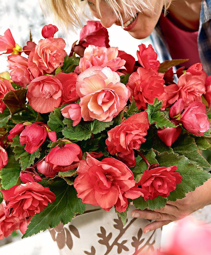 Scented Hanging Begonia Cascade Odorosa Bulb Flowers Fragrant