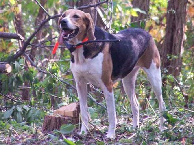Beagle Walker Deer Dogs For Sale Goldenacresdogs Com