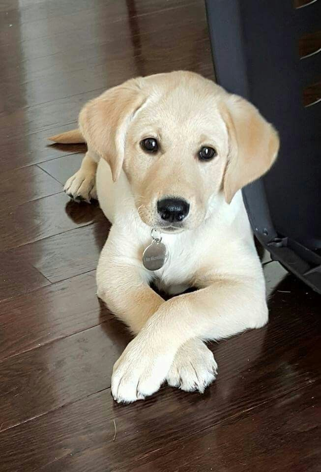 Pin By Sydney Browning On Love Dogs Cute Labrador Puppies Labrador Retriever Puppies Cute Puppies