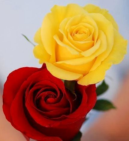 Yellow And Red Roses Via Lovely Roses Facebook Page Roses
