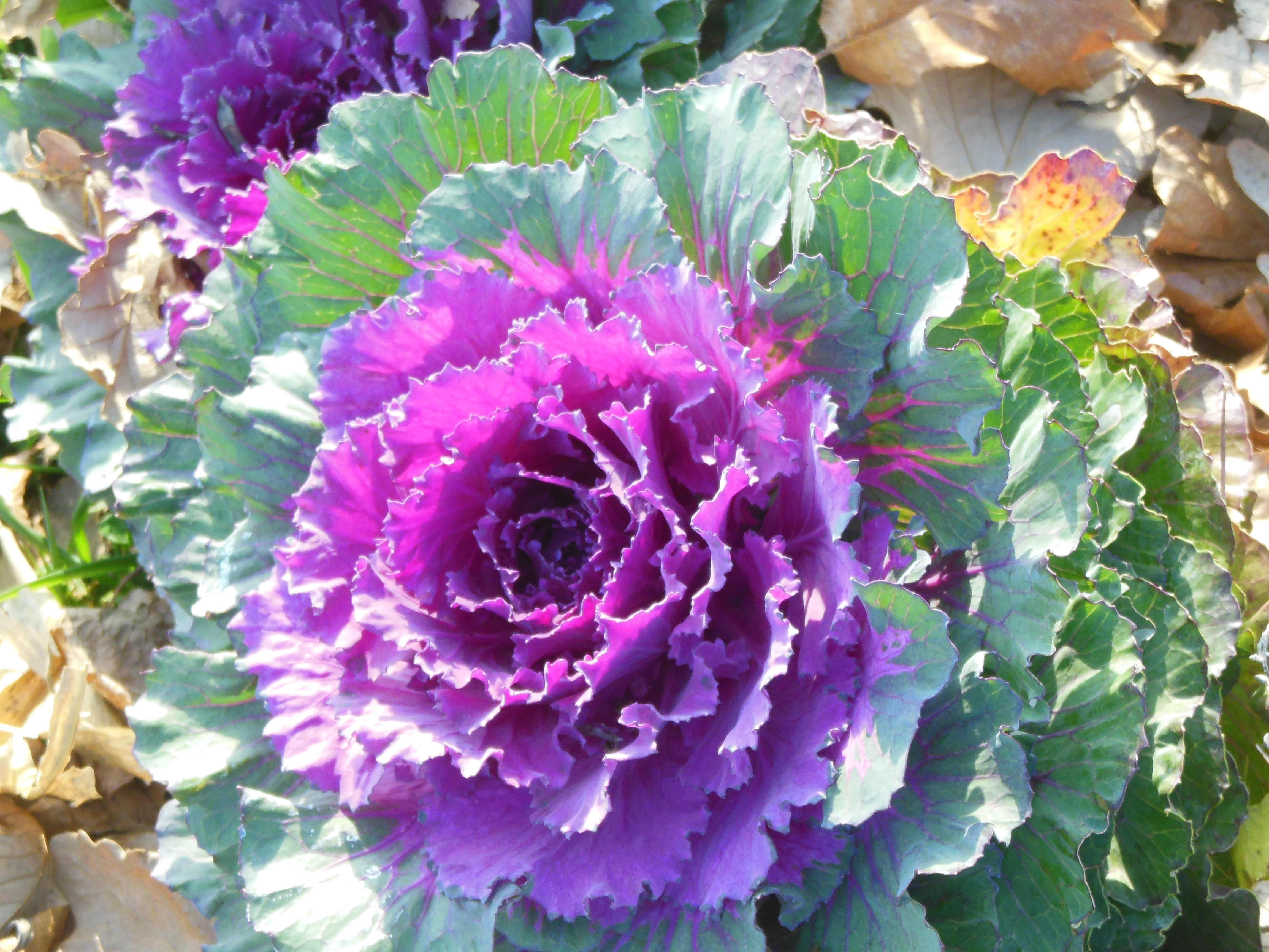 cabbage flower plants for sale