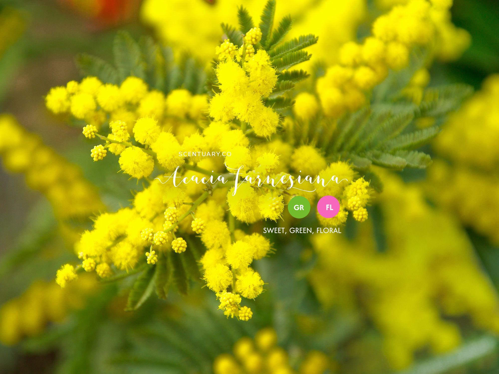 Cassie Garden Trees Flower Seeds Mimosa