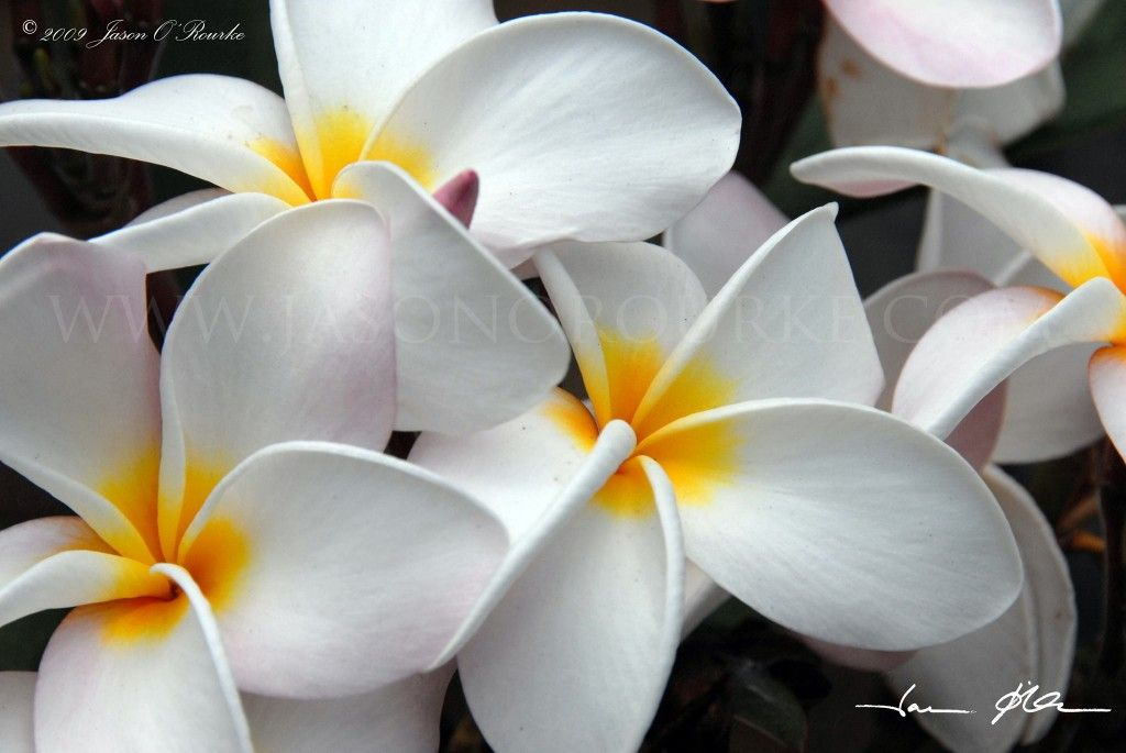 Plumeria flowers smell so good used to have a tree in my front plumeria flowers smell so good used to have a tree in my front yard mightylinksfo