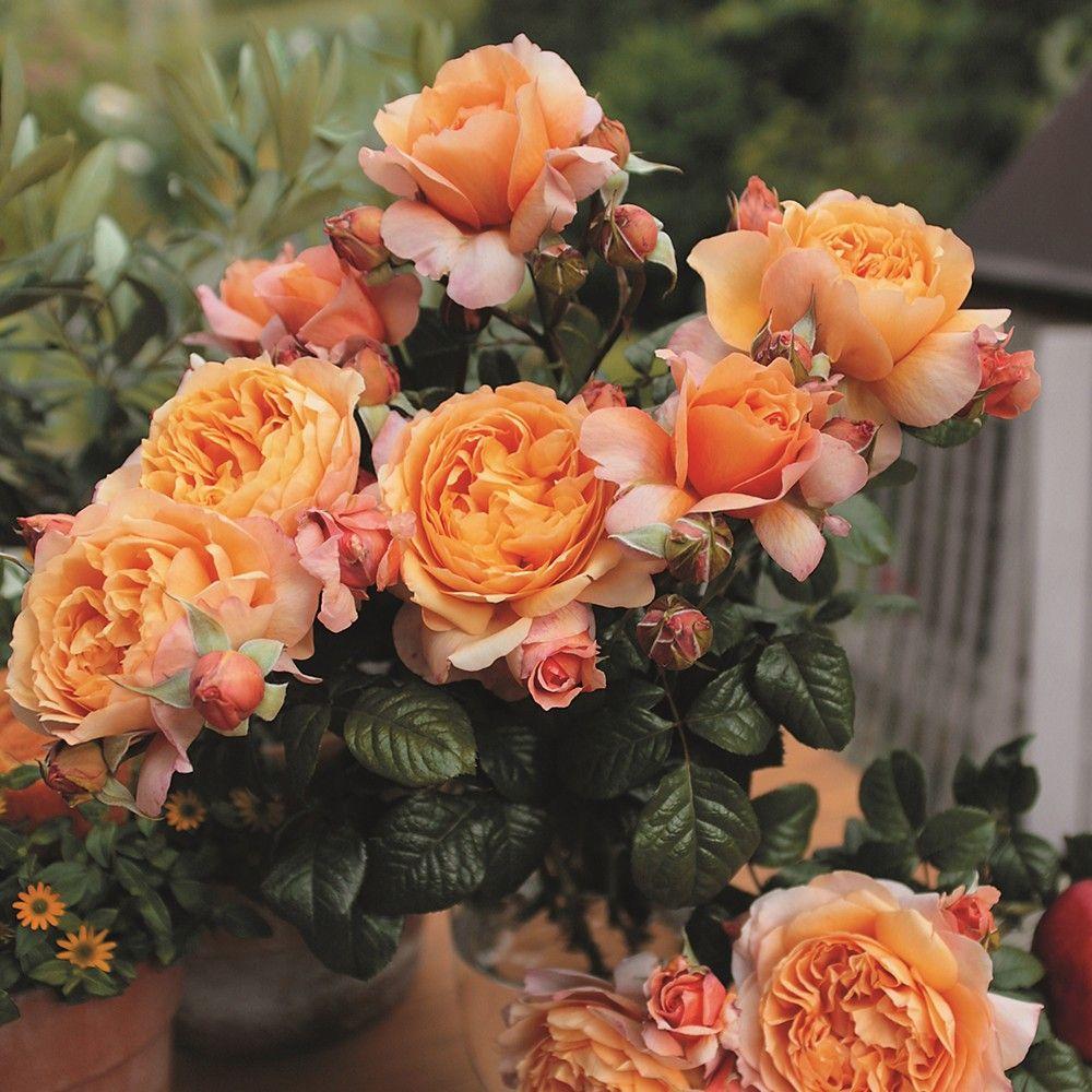 Nostalgie Edelrose Capri Rosen Tantau Rosen Und Blumen Zum