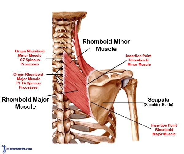 Rhomboid Muscle Rhomboid Muscles Are Found In The Upper Torso Of
