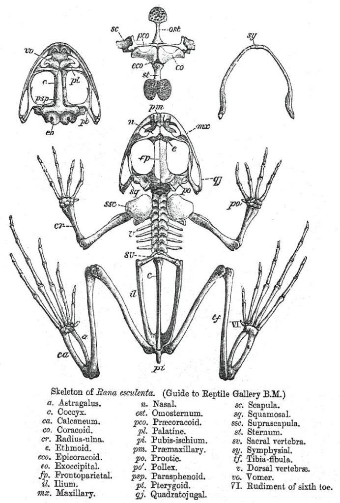frog skeleton | Cool ideas | Pinterest