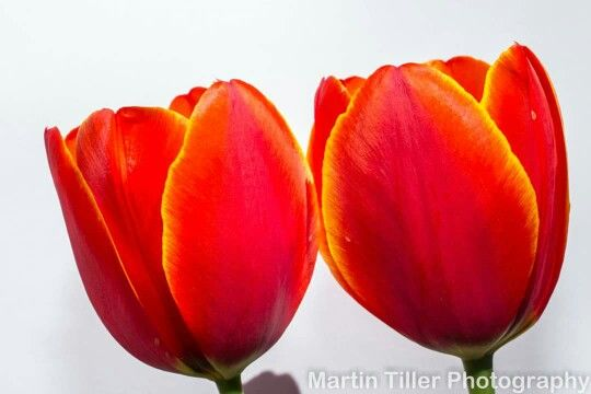 Spring is here.  Tulips on white.