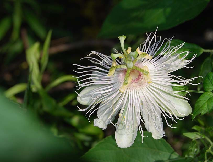 Florida wildflowers website excellent site for
