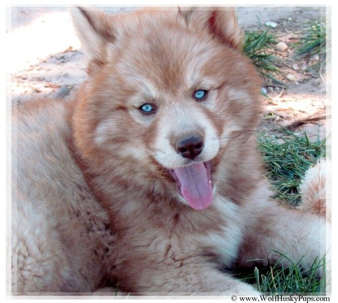 Scarlette A Rare Red Woolly Blue Eyed Wolf Cross Hybrid Puppy