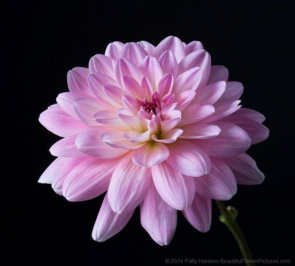 In The Studio Peach And White And It S A Girl Dahlias Dahlia Flower Dahlia Flower Mandala