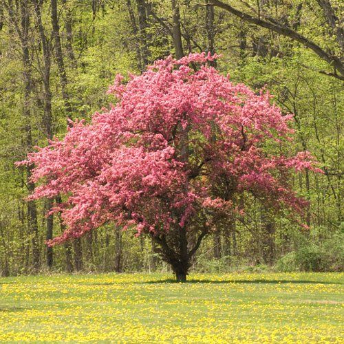 Application Firewall Error Pink Dogwood Tree Dogwood Trees Flowering Trees