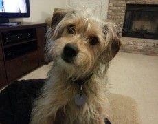 Schneagle Schnauzer X Beagle Mix Info Temperament Puppies