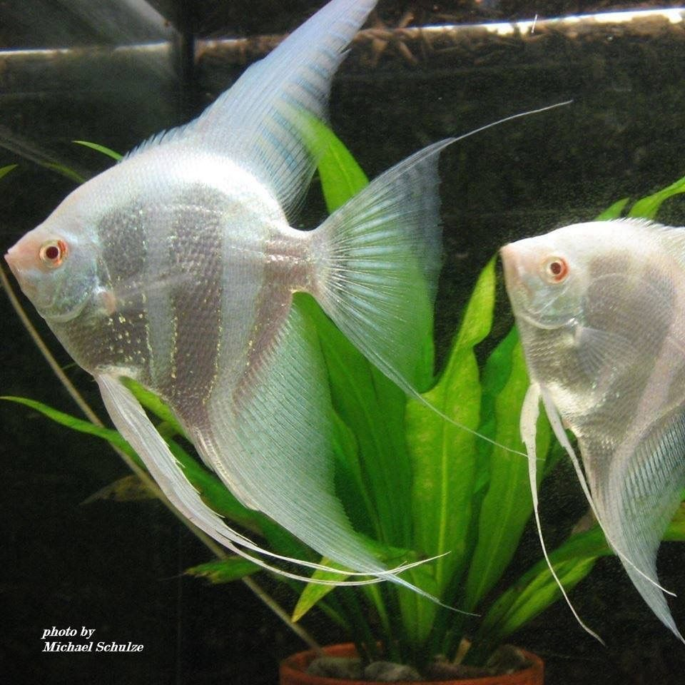 Das ist eines meiner Zuchtpaare. Blue Albino . Gruß Michael Schulze