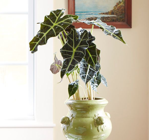 easy to grow houseplants with colorful leaves costa farms