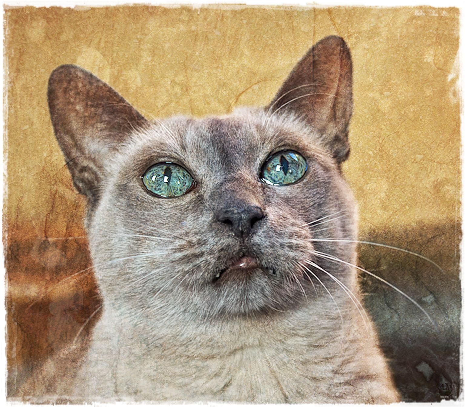 An image of a Tonkinese cat, layered with textures