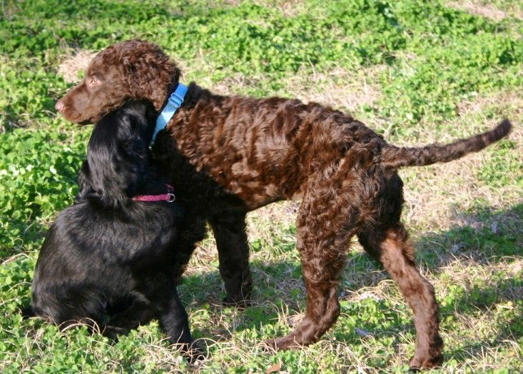 Liver Curly and Black Flat Coat