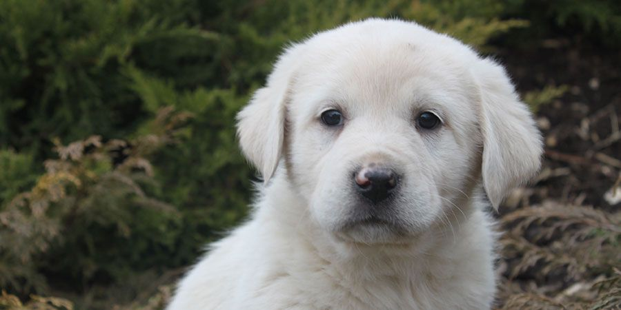 Great Pyrenees Price Temperament Life Span Great Pyrenees