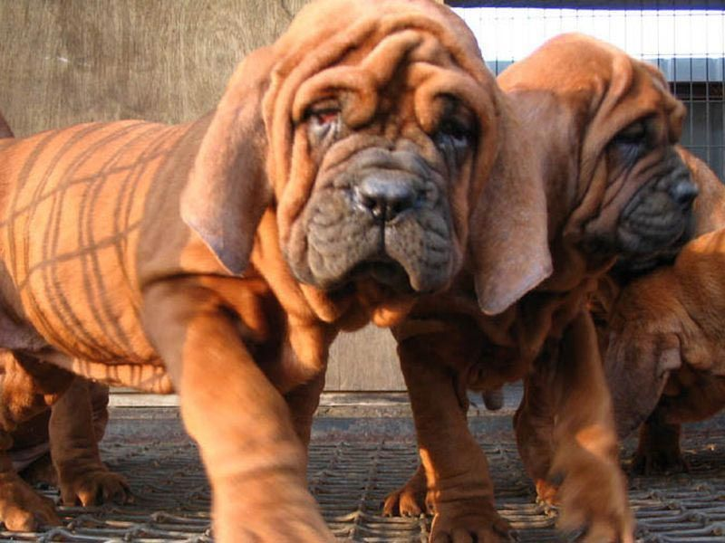 Most Expensive Dog Breed In India Korean Dosa Mastiff Expensive Dogs Mastiff Puppies Mastiffs