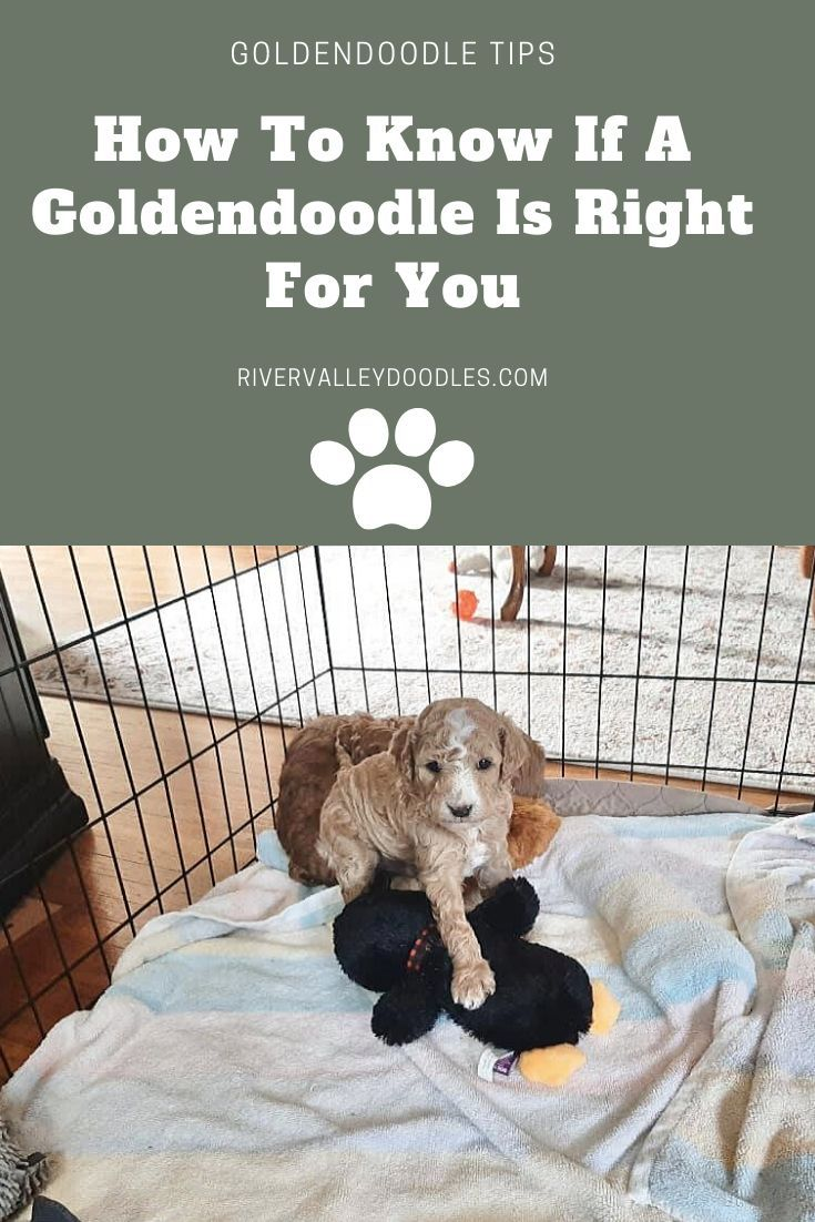 Goldendoodle Puppy Information Why Breeder Ny Pa Nj Ct In 2020 Easiest Dogs To Train Dog Training Games For Puppies
