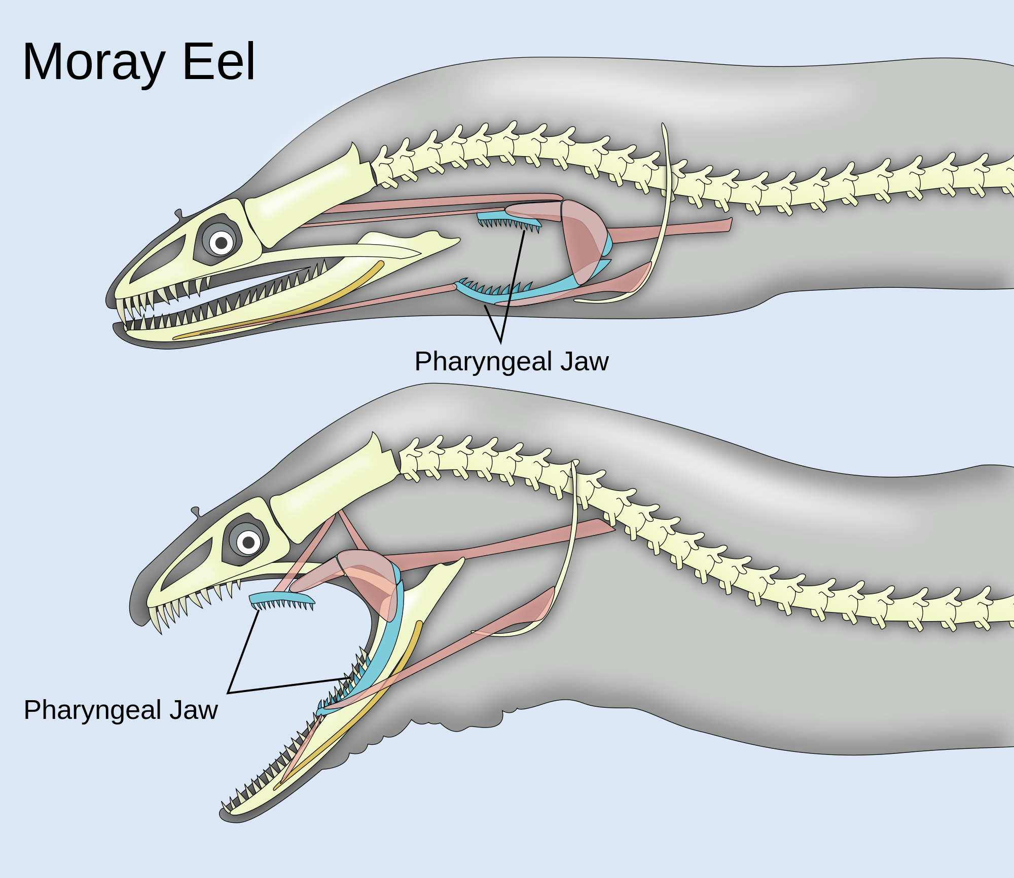 Awesome Diagram Of Pharyngeal Jaws