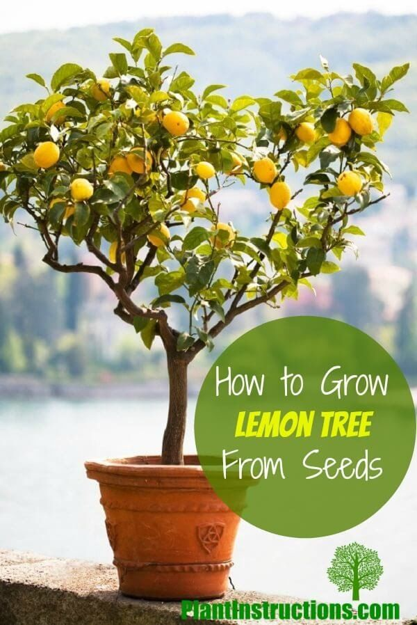 How To Grow A Lemon Tree From Seeds Lemon Tree From Seed Meyer