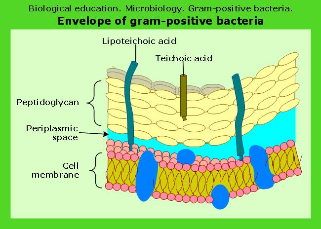 Microbiological educational diagram sample: Cell envelope of gram ...