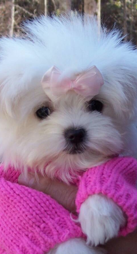 Maltese I Ve Been Wanting My First Puppy For A Long Time Now And I