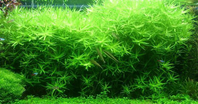 Heteranthera Zosterifolia Freshwater Aquarium Plants Planted Aquarium Aquatic Plants