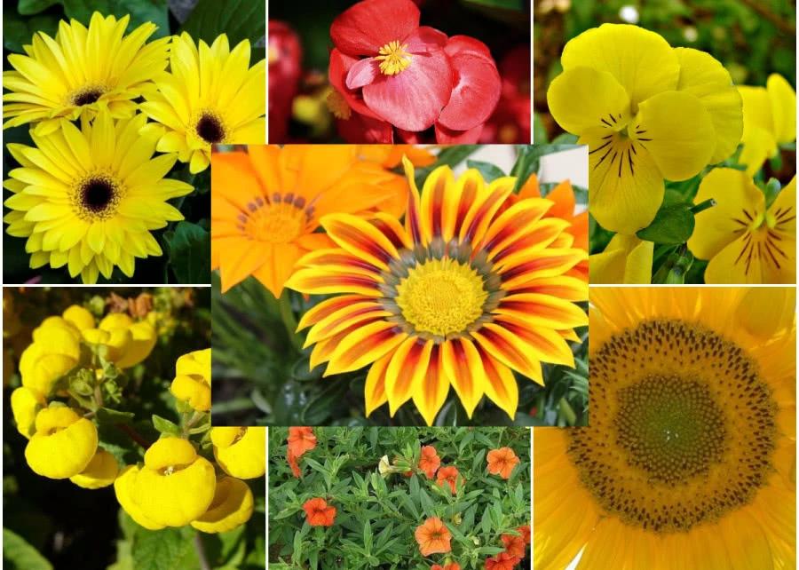 Zolte I Pomaranczowe Rosliny Balkonowe 8 Najpopularniejszych Zielony Ogrodek Plants