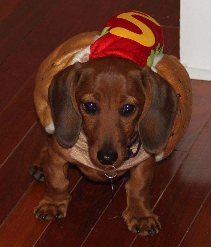 Dachshund Puppy In A Hot Dog Costume Too Cute Dachshund Love