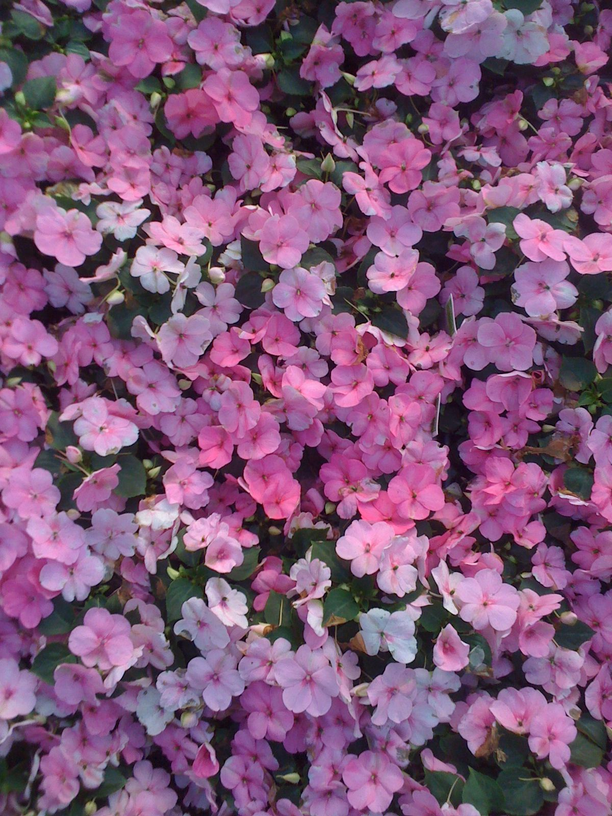Impatiens Flowers I have had and liked