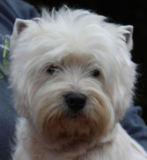 Devnik Westies Breeders Of Quality West Highland White Terriers