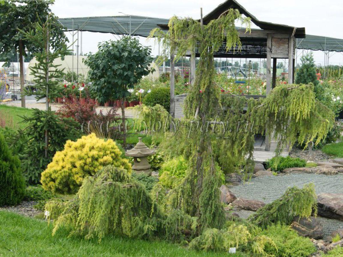 Nutkinis Puskiparisis Pendula Plants Garden Arch Outdoor Structures