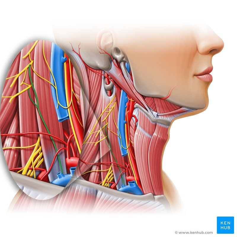 Phrenic Nerve Nervus Phrenicus Image Paul Kim Heilung
