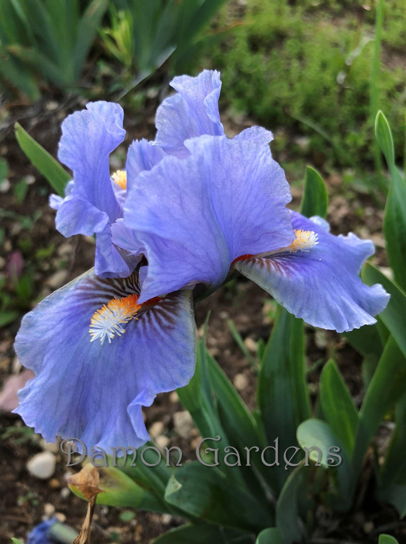Iris Fires Of Fiji Flowers Pinterest Iris Flowers And