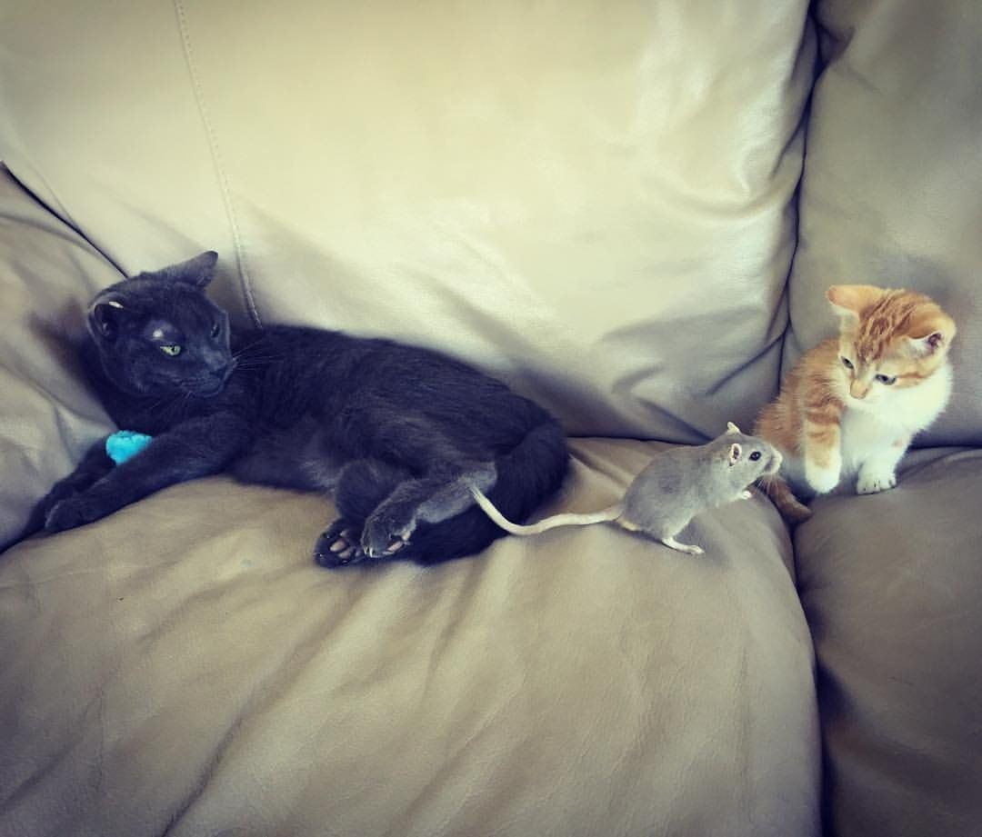 17 Year Old Cat And Gerbil Meeting The New Kitten Cute Little Animals Funny Animal Pictures Old Cats