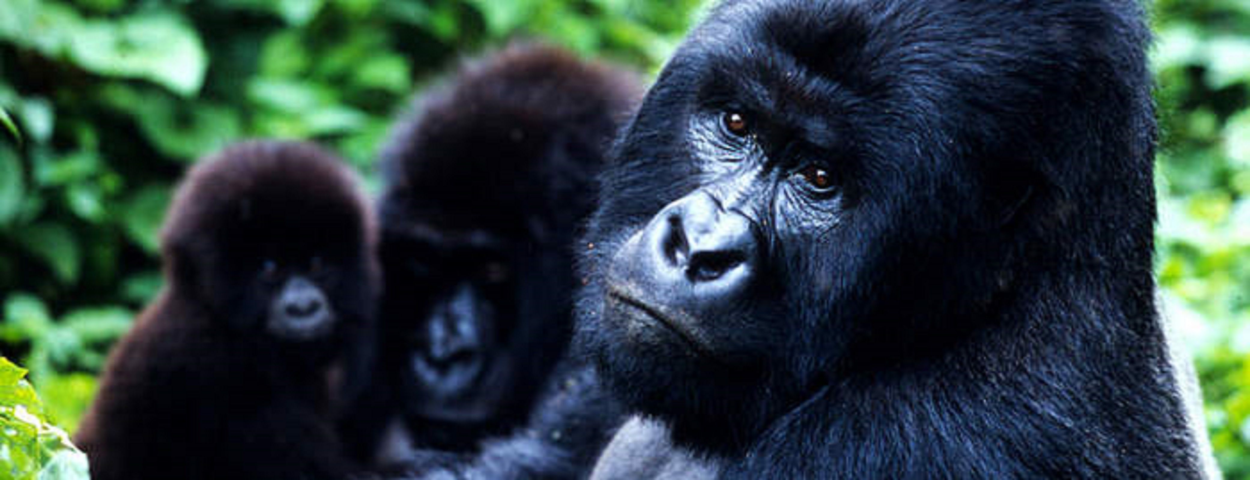 African mountain animals - Uganda Safaris Tours For African Wildlife Safaris Gorilla Trekking Cultural Safaris Visit Uganda
