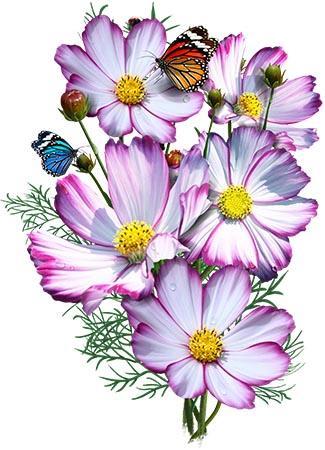 Picotee Cosmos Seeds Cosmos Bipinnatus Cosmos Flowers Flower Drawing Flower Art