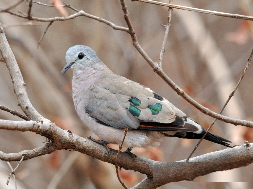 2517. Emerald-spotted Wood-dove (Turtur chalcospilos) | resident across eastern and southern Africa