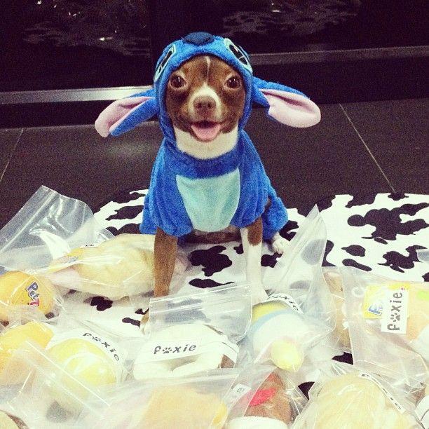 Beautiful Instagram Chihuahua With Cute Stitch Dog Costume