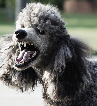 Woman S Nose Bitten Off By Her Pet Dog Scary Dogs Poodle Dogs