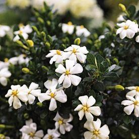 2 25 Gallon White Heaven Scent Gardenia Flowering Shrub L20905